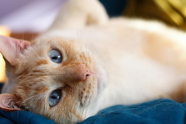 全98品種】猫の種類一覧|特徴と値段は?【写真付き】