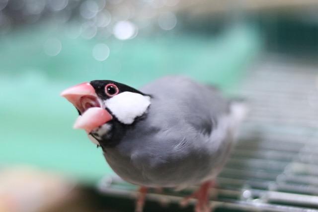 文鳥 平均寿命